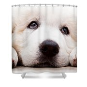 Cute White Puppy Dog Lying And Looking Up. Polish Tatra Sheepdog Shower Curtain