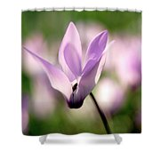 Cyclamen Persicum Persian Violets Shower Curtain