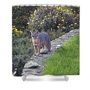 D-a0037 Gray Fox On Our Property Shower Curtain