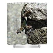 D7b6335 Western Fence Lizard, Male, Sonoma Mountain, Ca Shower Curtain