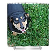 Dachshund Looking At Camera Smiling  Shower Curtain