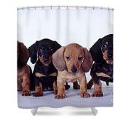 Dachshund Puppies  Shower Curtain