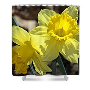 Daffodils In Spring Shower Curtain
