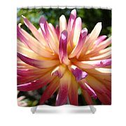 Dahlia Flowers Art Pink Purple Dahlias Giclee Baslee Troutman Shower Curtain