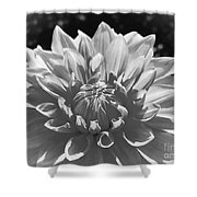 Dahlia In Black And White 2 Shower Curtain