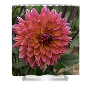 Dahlia In Bloom 19 Shower Curtain