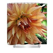 Dahlia In Bloom Shower Curtain
