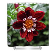 Dahlia In Red And White Shower Curtain