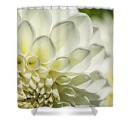 Dahlia Study 4 Shower Curtain