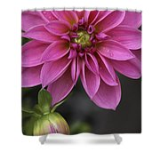 Dahlia With Dew In Pink Shower Curtain