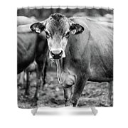Dairy Cow On A Farm Stowe Vermont Black And White Shower Curtain