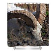 Dall Sheep Ram  Shower Curtain