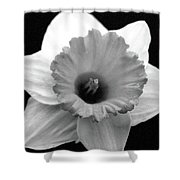 Dallas Daffodils 17 Shower Curtain