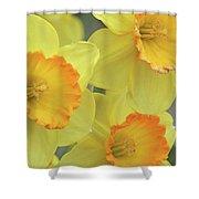 Dallas Daffodils 24 Shower Curtain