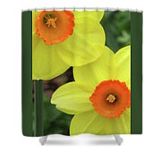 Dallas Daffodils 36 Shower Curtain