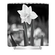 Dallas Daffodils 53 Shower Curtain
