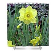 Dallas Daffodils 83 Shower Curtain