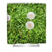Dandelions In Connecticut Shower Curtain