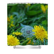 Dandelions, Young And Old Shower Curtain
