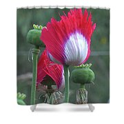 Danish Flag Papaver Somniferum Opium Poppies - Flowers And Pods Shower Curtain