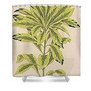 Daphne Mazereon Variegata Shower Curtain