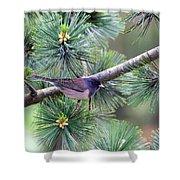 Dark-eyed Junco On A Pine Tree Shower Curtain
