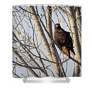 Dark-morph Western Red-tailed Hawks Shower Curtain