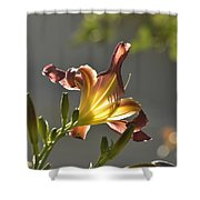 Dark Red Day Lily With Sun Shining Through I Shower Curtain