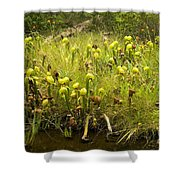 Darlingtonia Plants Grow Beside Shower Curtain