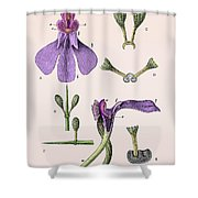 Darwins Orchis Pyramidalis, Illustration Shower Curtain