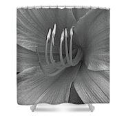 Daylily 01 - Bw Shower Curtain