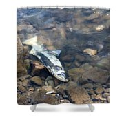 Dead Chinook Salmon Shower Curtain