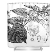 Deadly Nightshade, Medicinal Plant, 1830 Shower Curtain