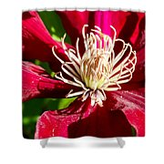 Deep Red Clematis Shower Curtain