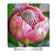 Delicate Pink Bud Waratah Flower Shower Curtain