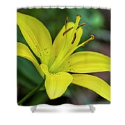 Delicate Yellow Oriental Lily Shower Curtain
