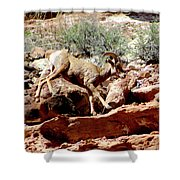 Desert Bighorn Ram Walking The Ledge Shower Curtain