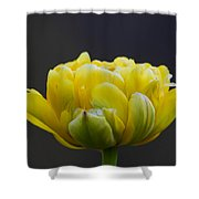 Dew Covered Yellow Tulip Shower Curtain
