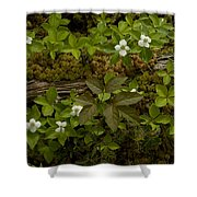 Dew Dropped Spring Bunchberries Shower Curtain