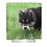 Dew Drops On The Nose Of An Alusky Puppy Dog Shower Curtain