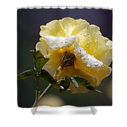 Dewy Yellow Rose 1 Shower Curtain