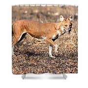 Dhole In The Wild Shower Curtain