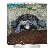 Diamondback Terrapin Shower Curtain by Lynn Jackson