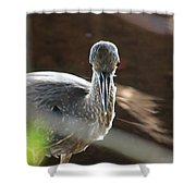 Ding Darling - Juvenile Black-crowned Night Heron Looking At You Shower Curtain