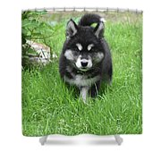 Dinstinctive Black And White Markings On An Alusky Pup Shower Curtain