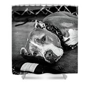 Dog At The Ring Shower Curtain