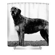 Dog: Irish Wolfhound Shower Curtain