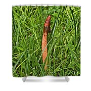 Dog Stinkhorn Mushroom - Mutinus Caninus Shower Curtain