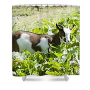 Domestic Pygmy Goat  Shower Curtain