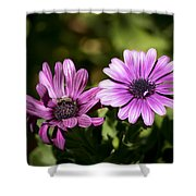 Double Purple African Daisy Shower Curtain
